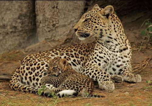 продолжительность жизни леопарда