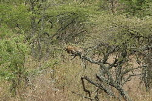 среда обитания леопардов