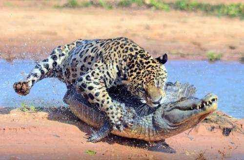 ягуар - питание