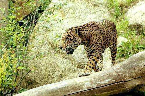 ягуар-среда обитания