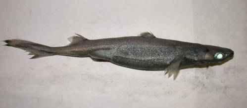 etmopterus perryi