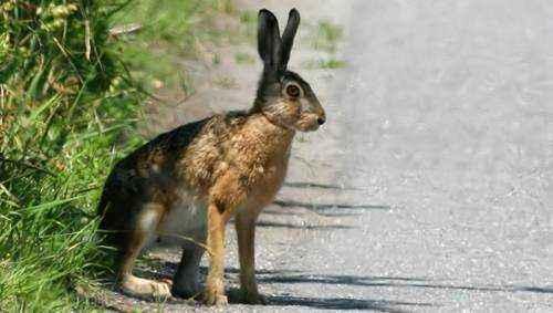 Максимальная скорость бега зайца