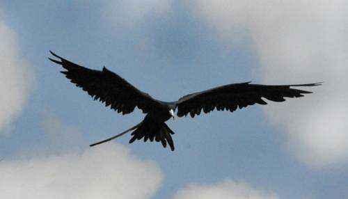Птица Фрегат