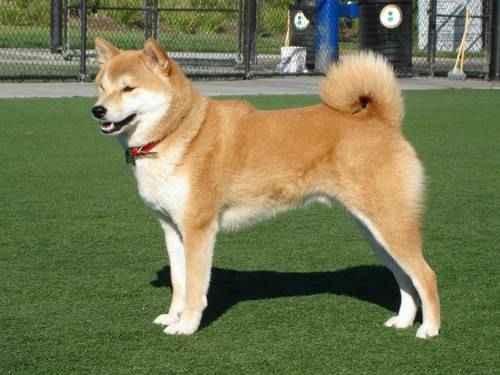 Самые опасные породы собак - Акита-ину