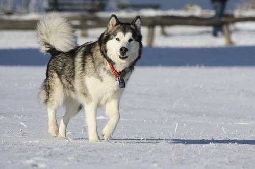Самые опасные породы собак - Аляскинский маламут