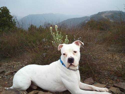 Самые опасные породы собак - Американский бульдог