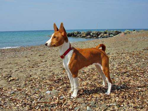 Самые опасные породы собак - Басенджи