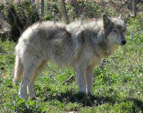 Самые опасные породы собак - Волкособы