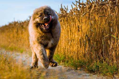 Самые опасные породы собак - Кавказская овчарка