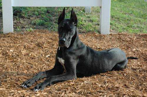 Самые опасные породы собак - Немецкий дог