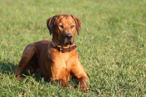 Самые опасные породы собак - Родезийский риджбек