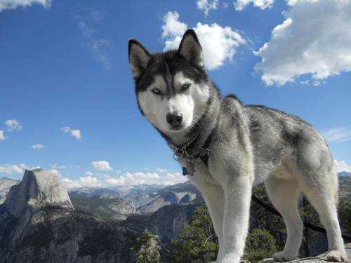 Самые опасные породы собак - Хаски