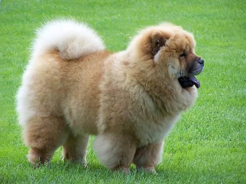 Самые опасные породы собак - Чау-чау