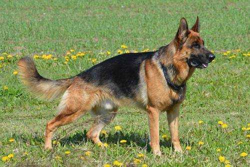 Самые опасные породы собак - немецкая овчарка