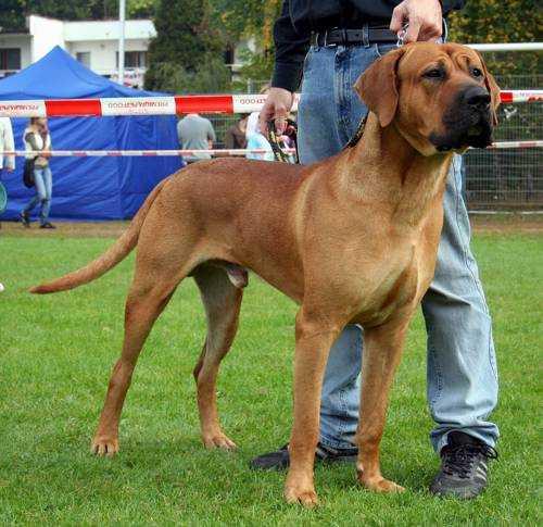 Самые опасные породы собак - тоса ину