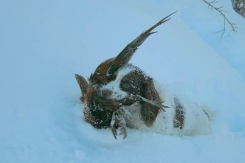 ТОП 10 Лучших охотничьих пород собак - Английский спрингер-спаниель