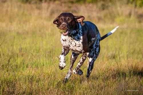 ТОП 10 Лучших охотничьих пород собак - Пойнтер