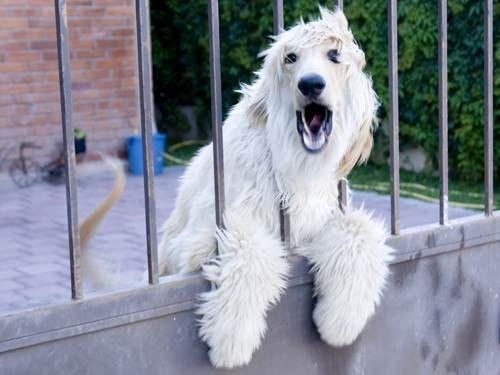 лай собаки