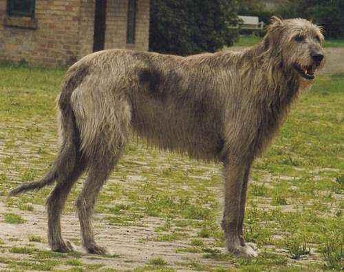 самые большие породы собак в мире - Ирландский волкодав