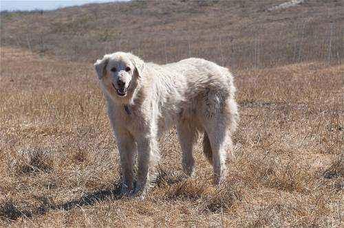 самые большие породы собак в мире - Кувас