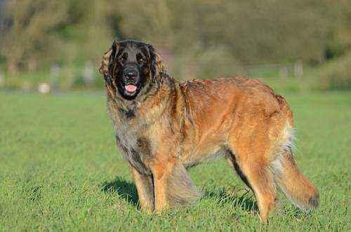 самые большие породы собак в мире - Леонбергер