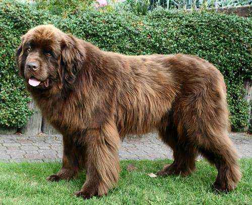 самые большие породы собак в мире - Ньюфаундленд