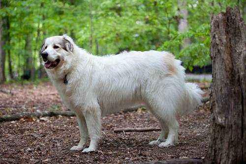 самые большие породы собак в мире - Пиренейская горная