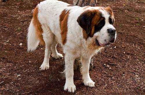 самые большие породы собак в мире - Сенбернар