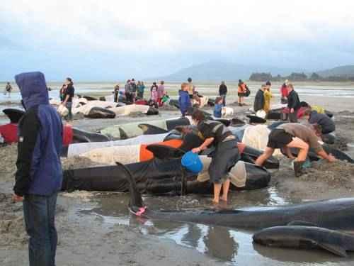 явления природы - Выброс китов на мель
