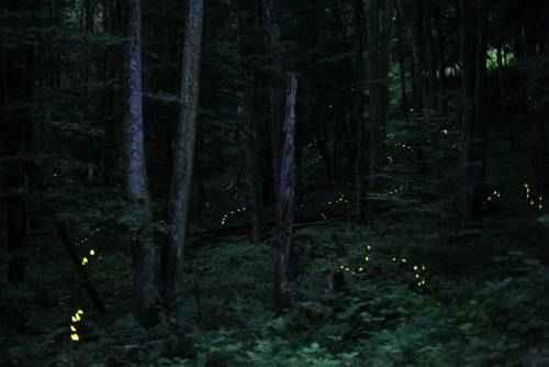 явления природы - Синхронное мигание светлячков