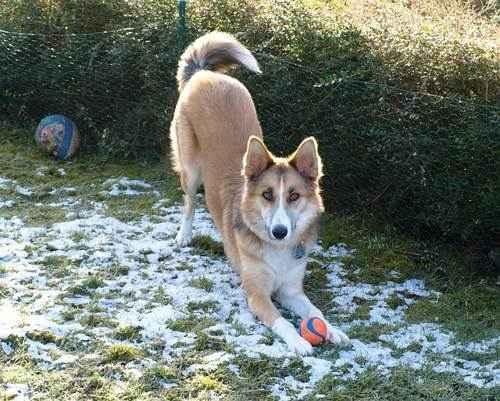 игривость, собака, играет мячем