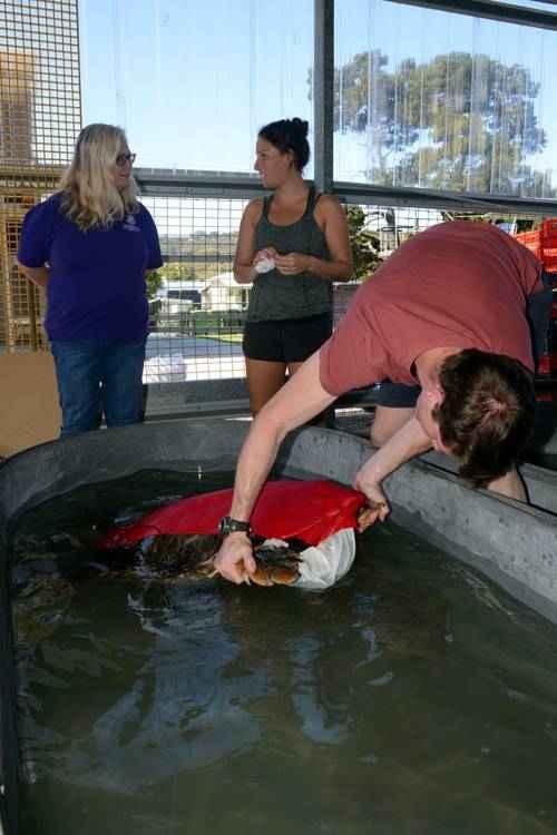 Морским черепахам одели купальники в научных целях