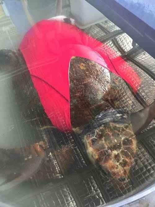 Морским черепахам одели купальники для их защиты