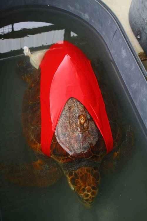 Морским черепахам одели купальники для науки