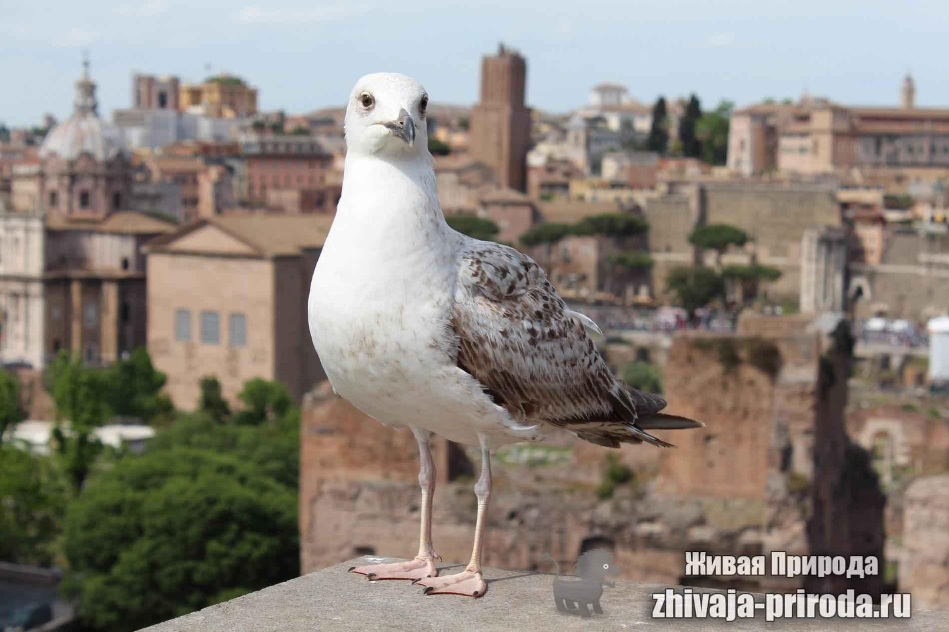 фото-Гордая-чайка-на-фоне-Рима