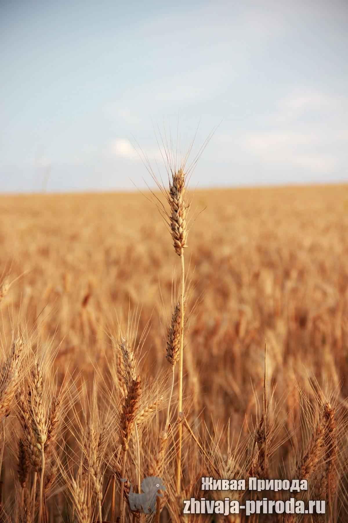 фото зрелых колосьев пшеницы крупным планом
