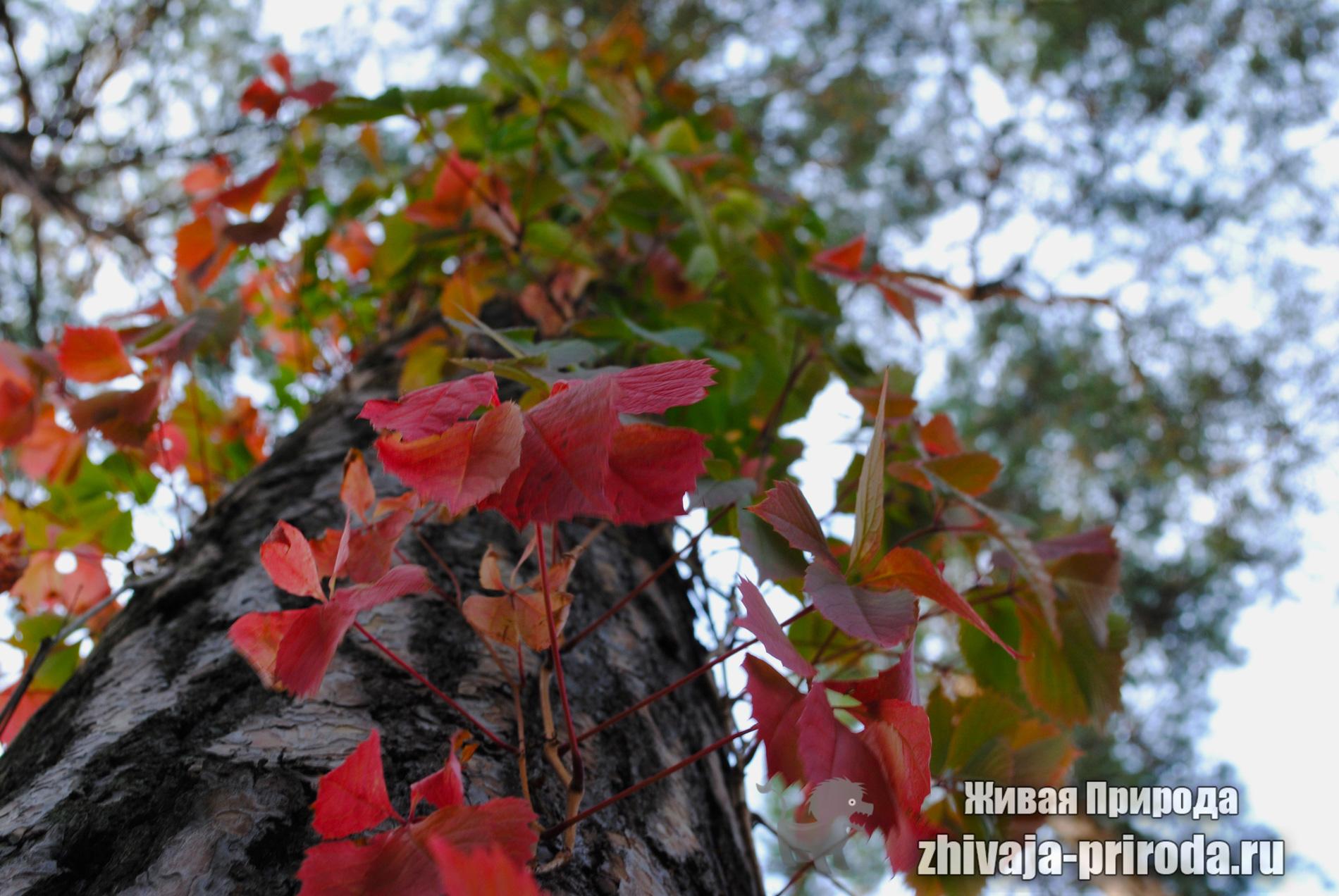 фото-красный-плющ-на-дереве