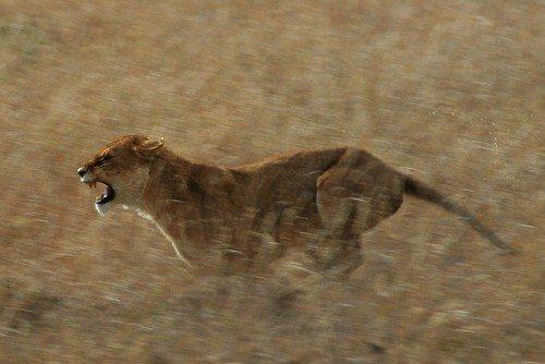 львица на бегу