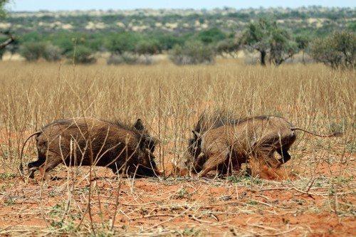 Африканские бородавочники, дикие кабаны, роют землю
