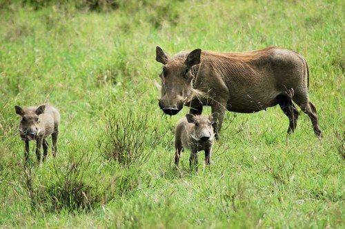 Африканские бородавочники, дикая свинья с детенышами, молодняк диких свиней