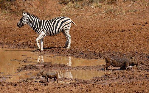 Африканские бородавочники, дикие африканские кабаны, зебра, вода, грязь