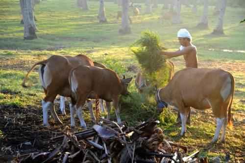 быки бантенг, человек, кормит диких быков