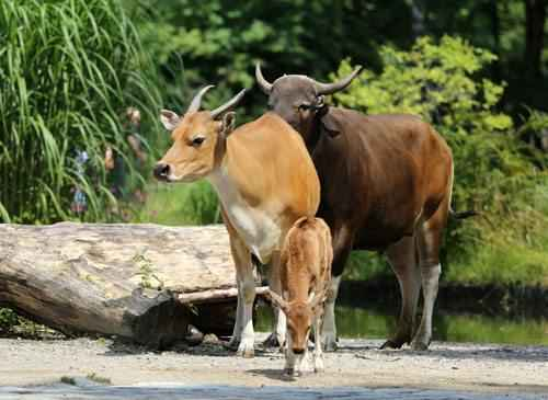 Дикие быки Бантенг, самец, самка, теленок