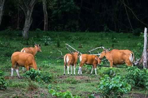 Бантенги, дикие быки, стадо, выпас