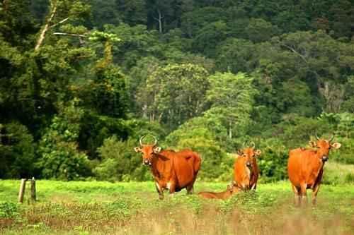 Бантенг,дикие быки, лес, пасбище