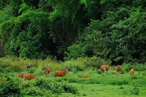 стадо быков бантенгов, дикие быки, на выпасе