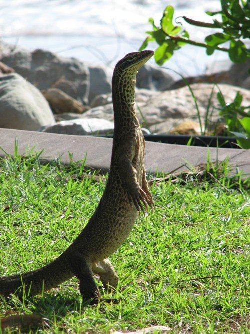 Варан Гульда, песчаный варан, рептилия, ящерица, стоит на двух лапах,