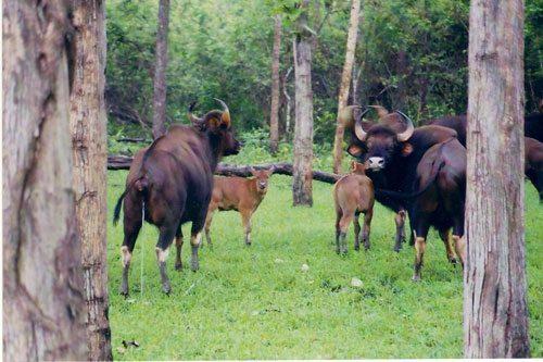 стадо гауров, индийские бизоны, телята