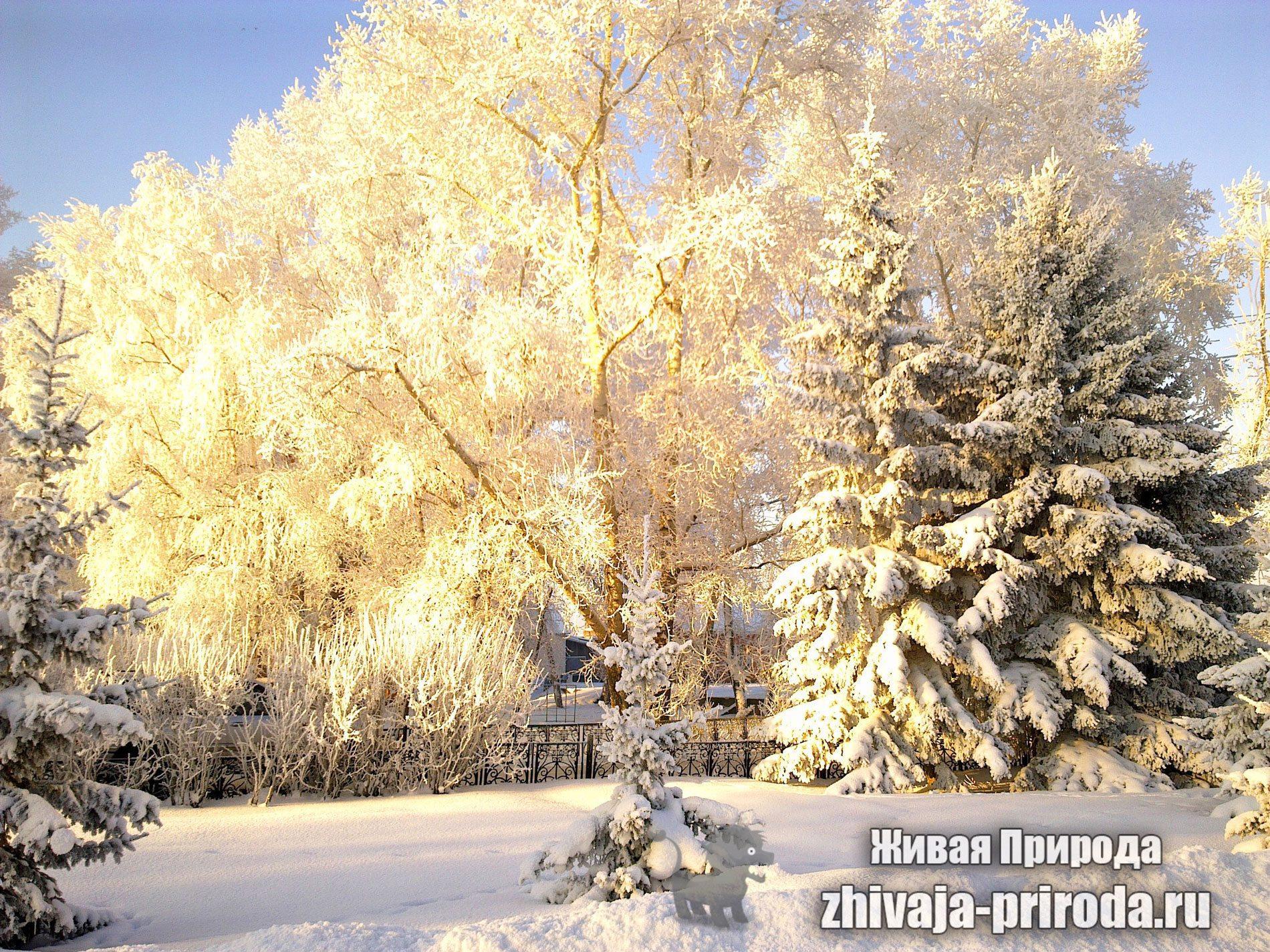 Деревья-в-снегу-на-солнце,-покрыты-инеем