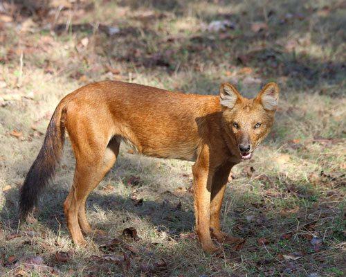 Красный волк, хищник, млекопитающее